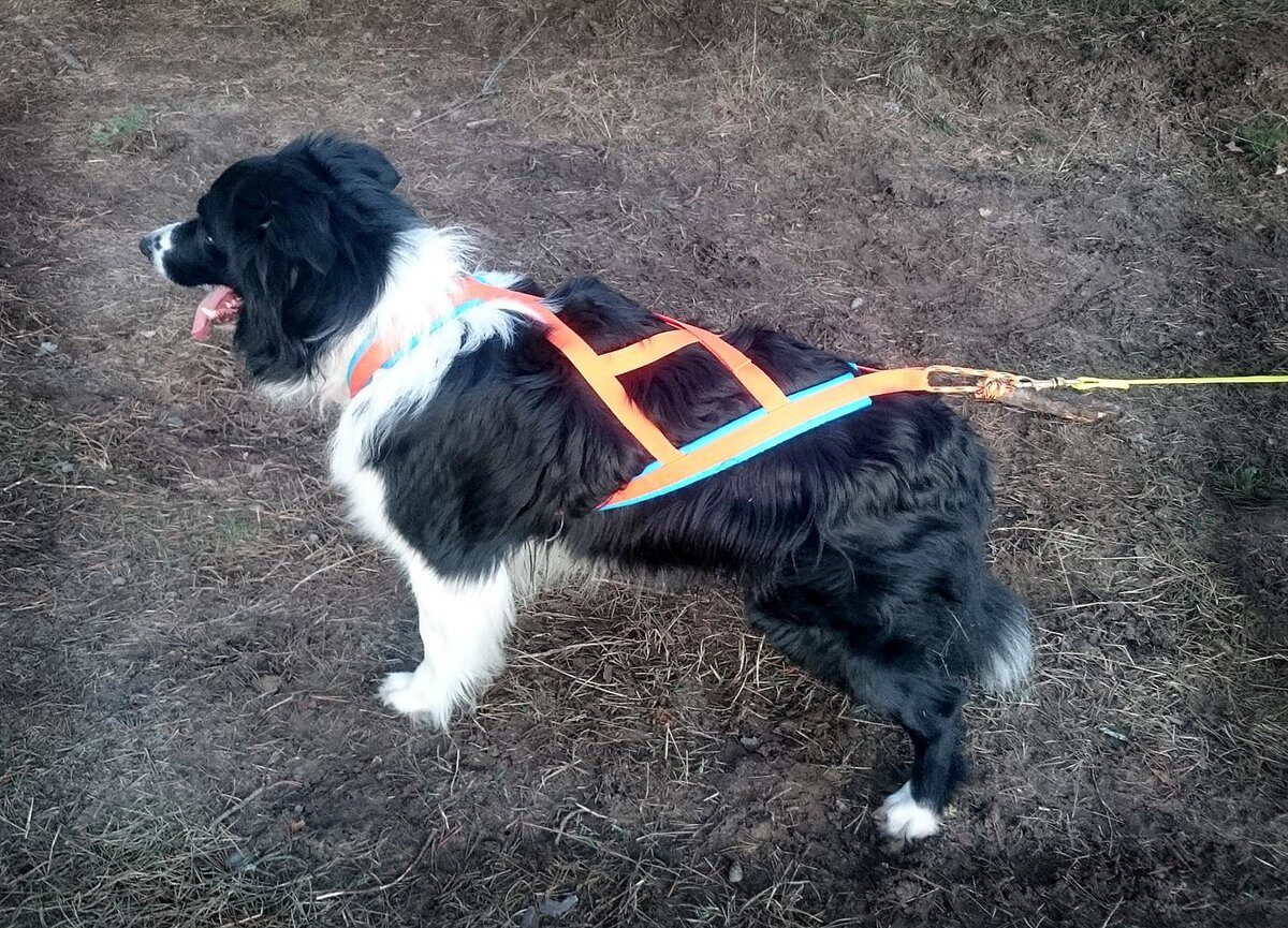 RaceDog padded harness X-Back Zemgus Comfort